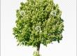 Cutout tree | Horse chestnut