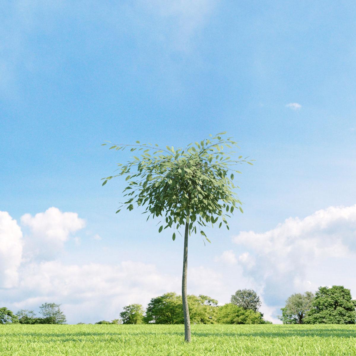 Salix repens var. argentea 23 v2 AM136 Archmodels