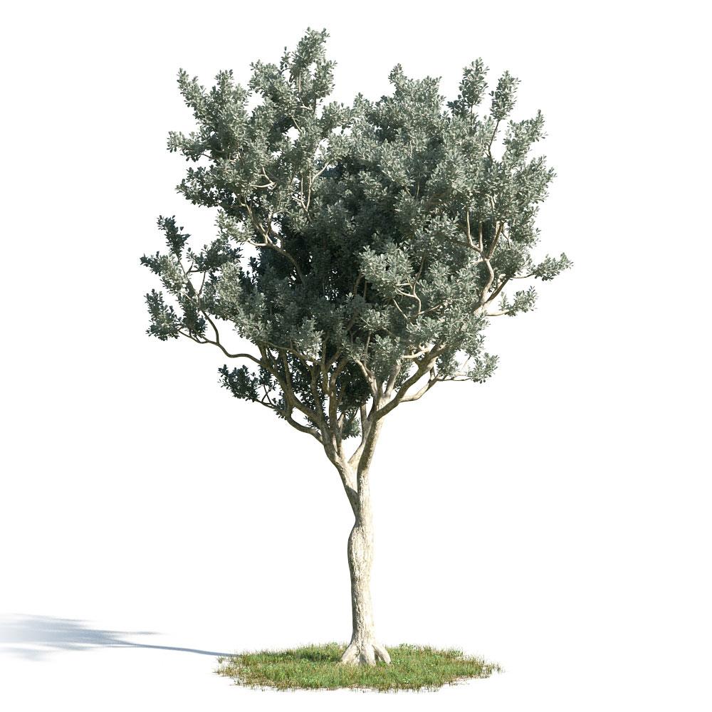 Conocarpus erectus 16 AM154 Archmodels