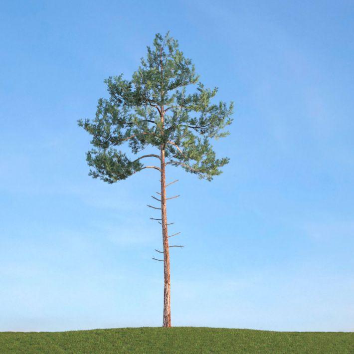 Pine 19 AM113 Archmodels