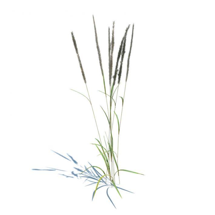 Calamagrostis acutiflora 85 AM126 Archmodels