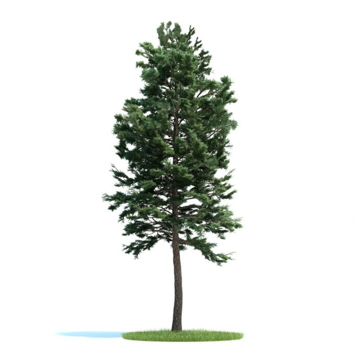 Pinus sylvestris Plant 32 AM58