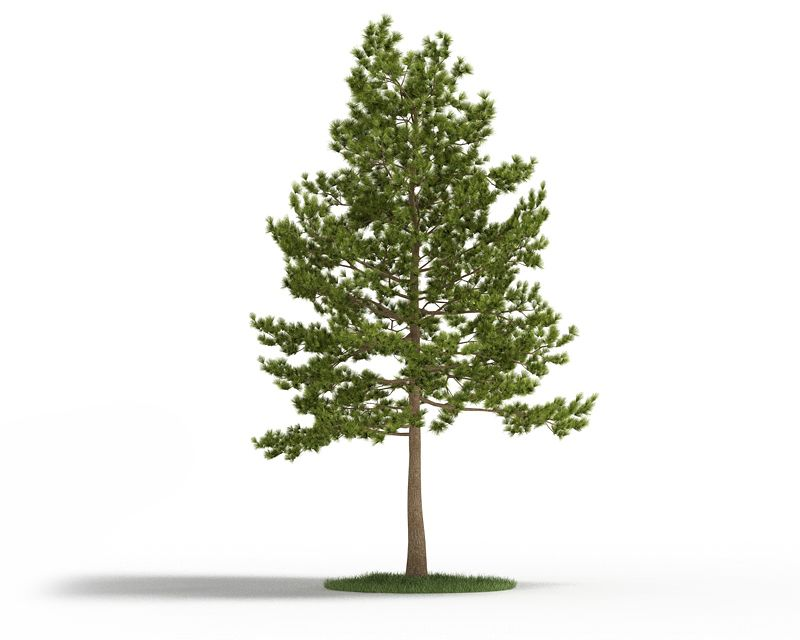 Loblolly pine 15 AM3 for Cinema4D Archmodels
