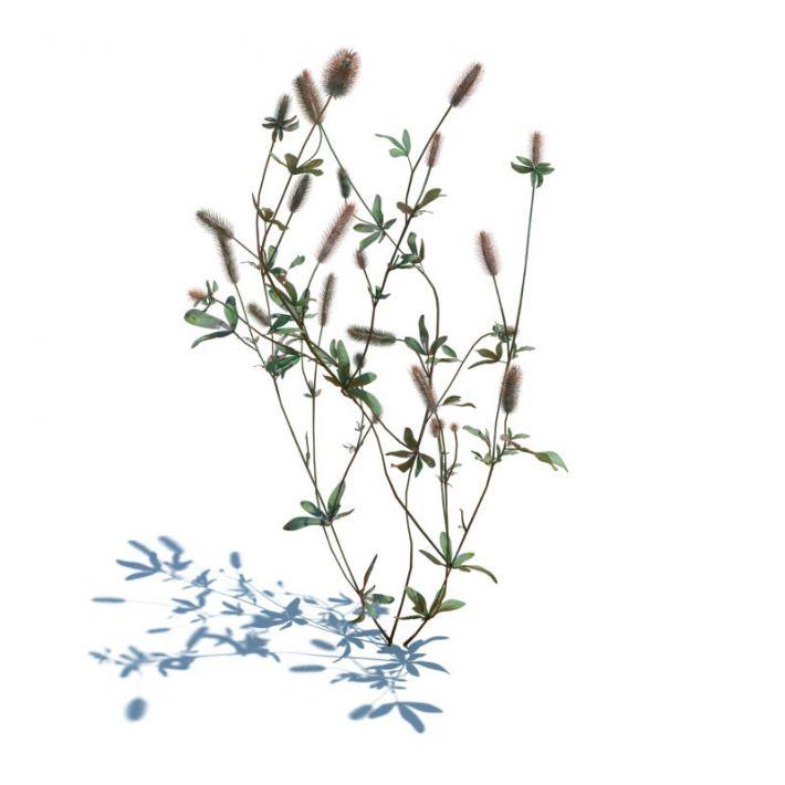 Trifolium arvense 44 AM126 Archmodels