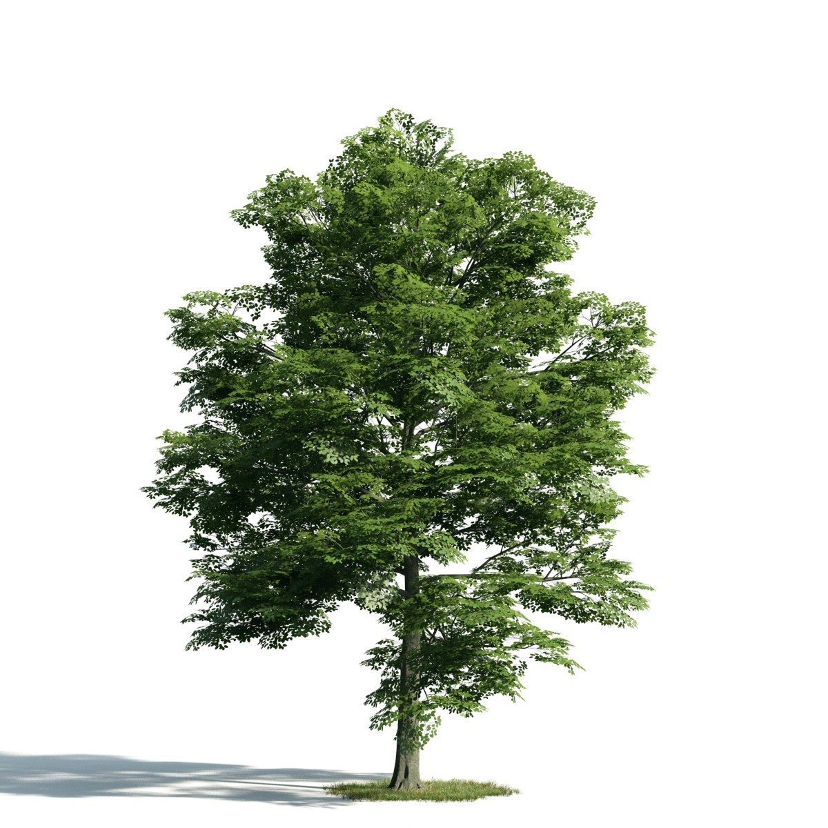 Tree 15 AM171 Archmodels