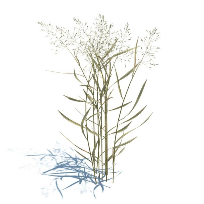 Agrostis capillaris 53 AM124 Archmodels