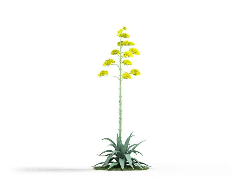 Agave americana 44 AM3 for Cinema4D Archmodels