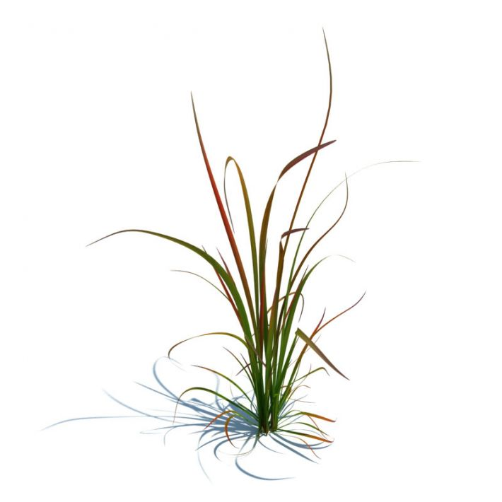 imperata cylindrica red baron 88 AM126 Archmodels