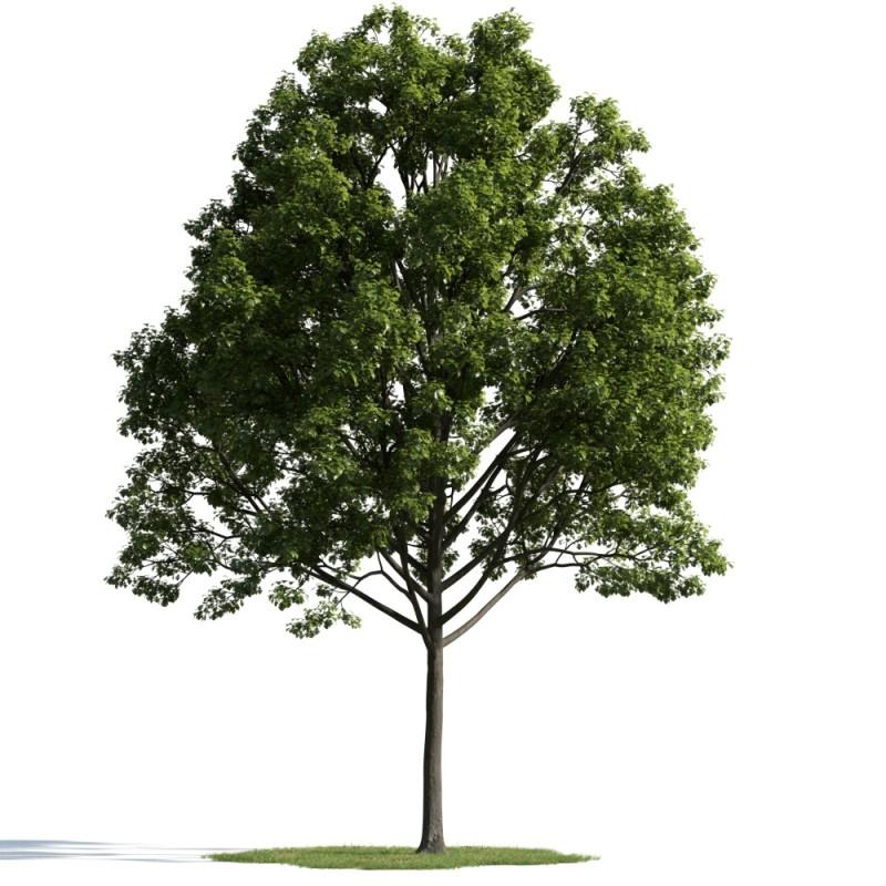 tree 33 AM163 Archmodels