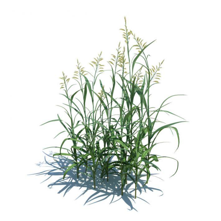 Phalaris arundinacea 20 AM124 Archmodels