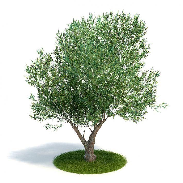 Olea europaea Plant 60 AM61 Archmodels