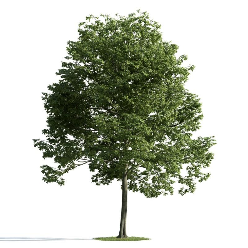 tree 11 AM163 Archmodels