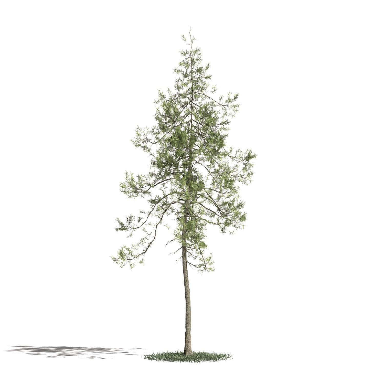 Tree 26 amb1