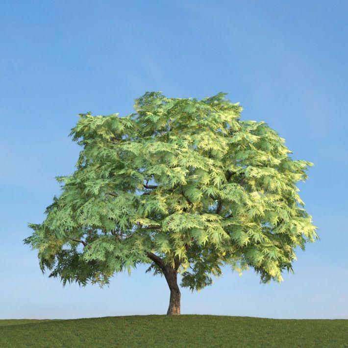 Acer palmatum 53 am113