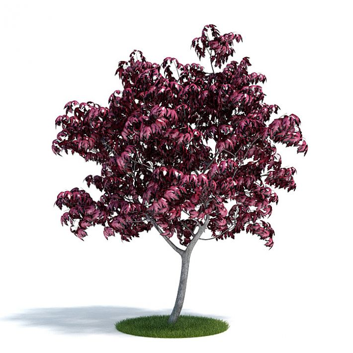 Acer japonicum Plant 38 AM61 Archmodels
