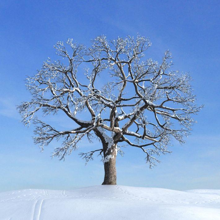 oak tree 032 am100