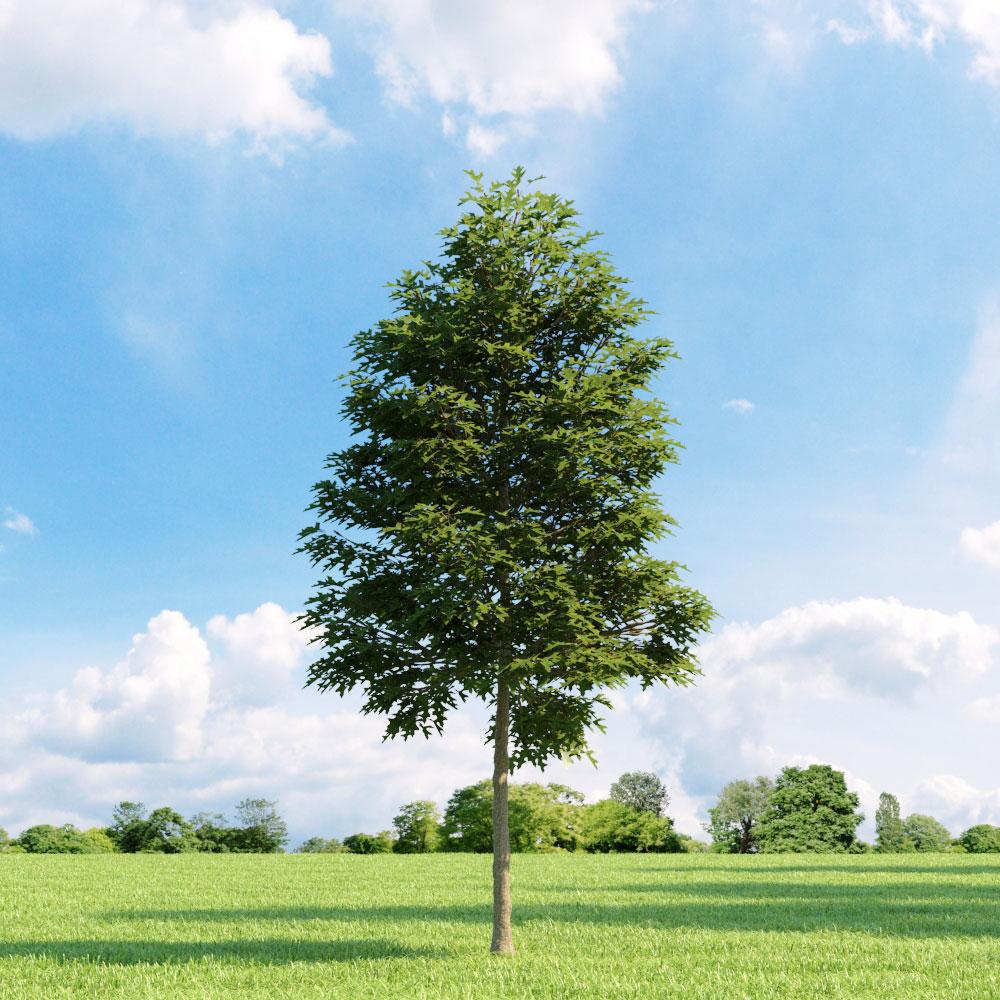 Quercus palustris 11 v3 AM136 Archmodels