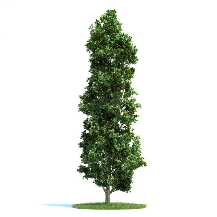 Populus Plant 38 AM58 Archmodels