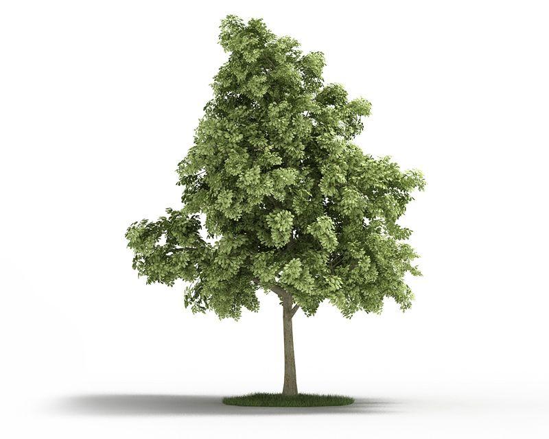 Quercus petraea 39 AM3 for Cinema4D Archmodels