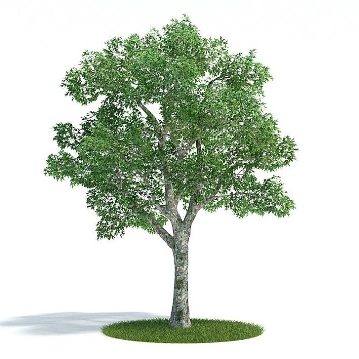 Platanus summer Plant 23 AM61 Archmodels