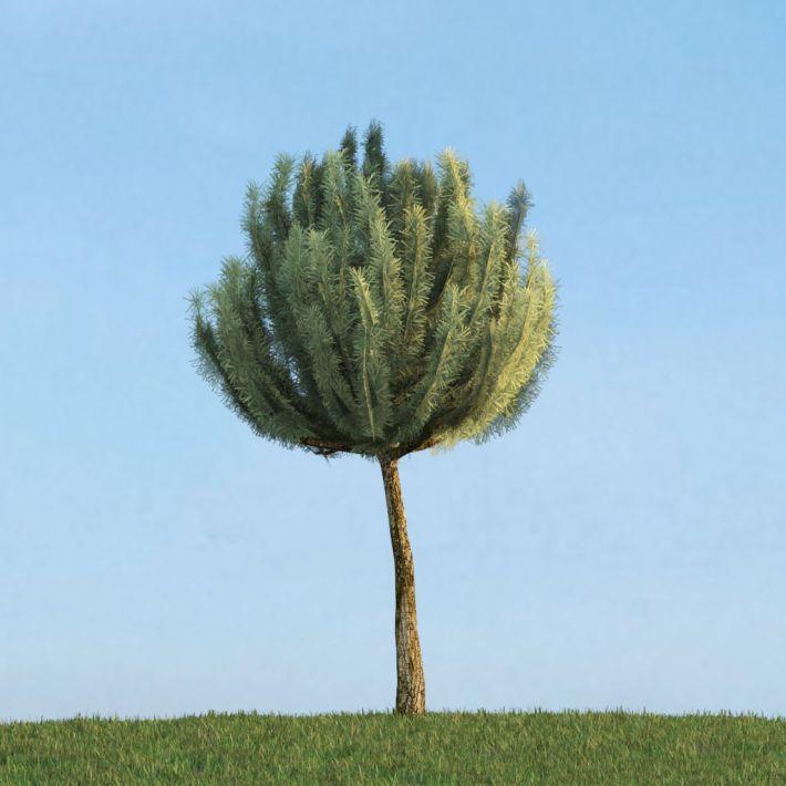 Pinus mugo 43 AM113 Archmodels