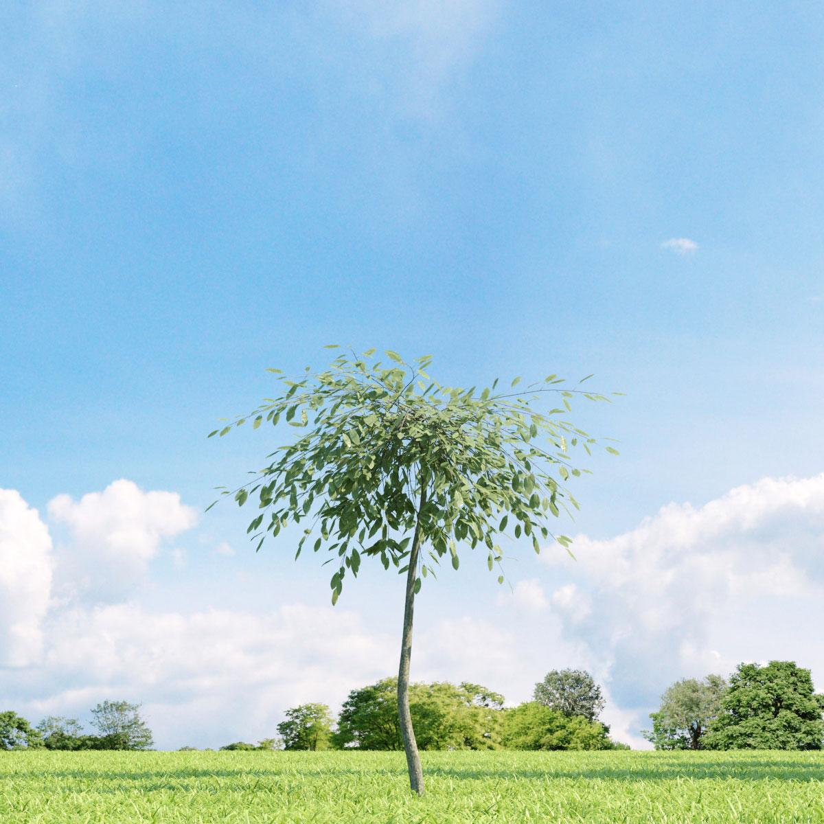 Salix repens var. argentea 23 v3 AM136 Archmodels