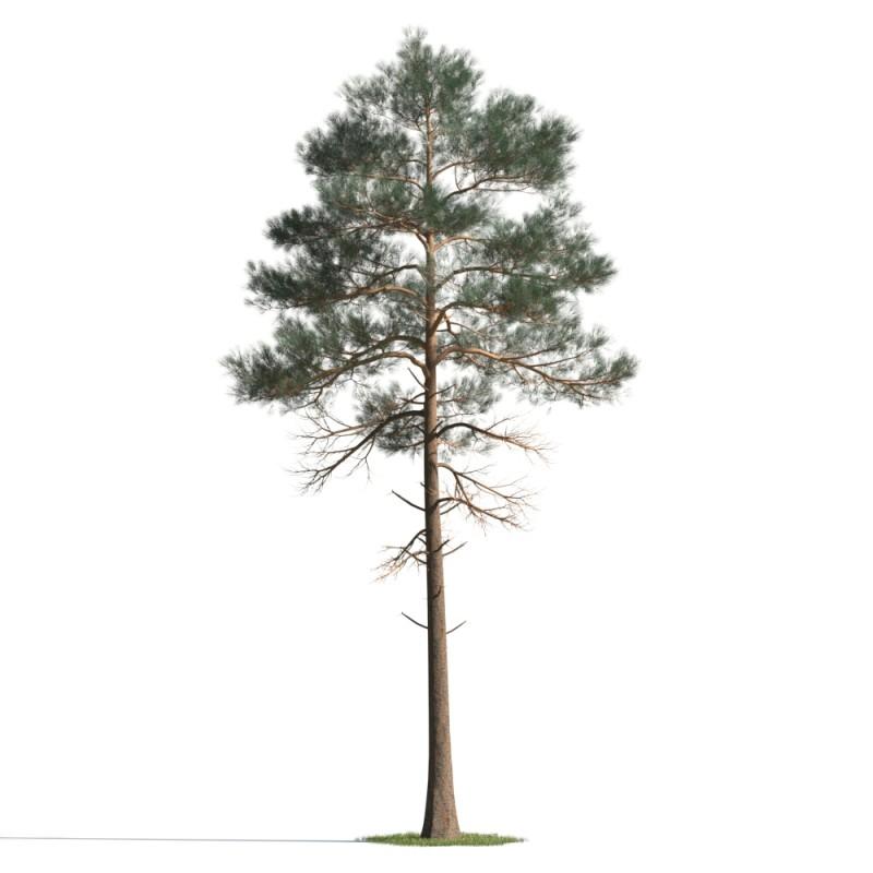 tree 75 AMC01