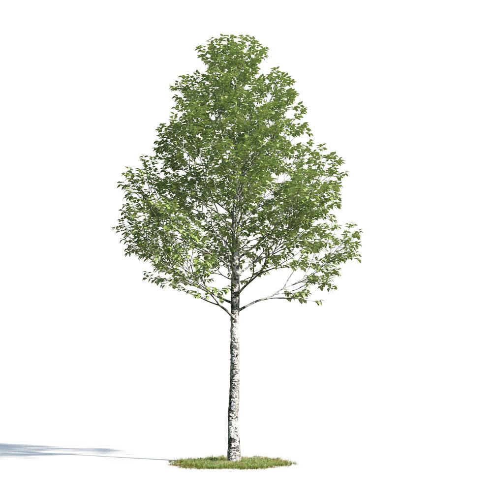 Populus alba 49 am154