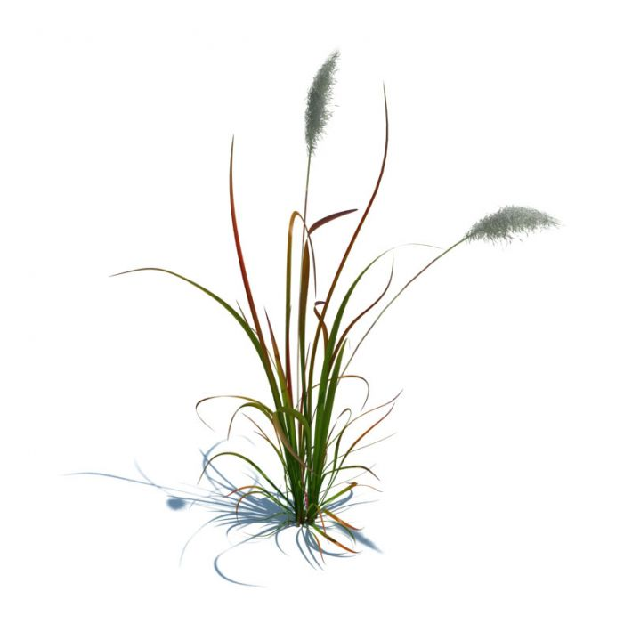 imperata cylindrica red baron 89 AM126 Archmodels