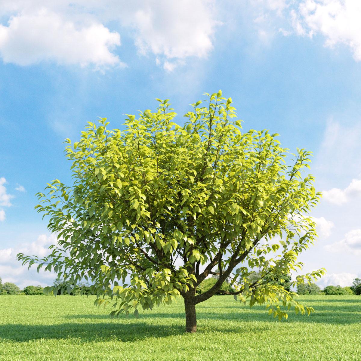 Prunus padus aurea 018_v1 AM136
