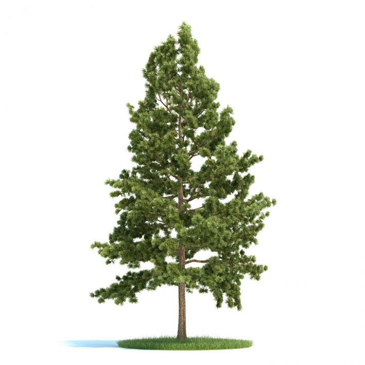 Pinus strobus Plant 31 AM58 Archmodels