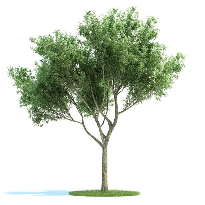 Salix fragilis Plant 28 AM58 Archmodels