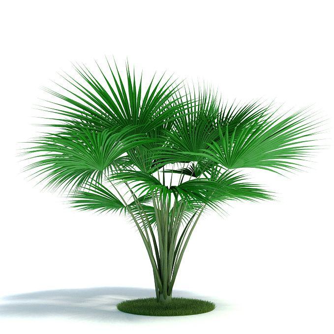 Lodoicea maldivica Plant 33 AM61 Archmodels