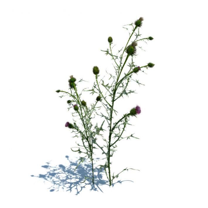 Cirsium vulgare 72 AM124 Archmodels