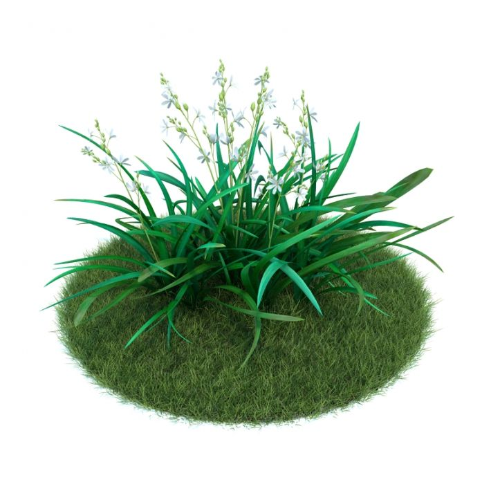 Anthericum ramosum 003 AM86