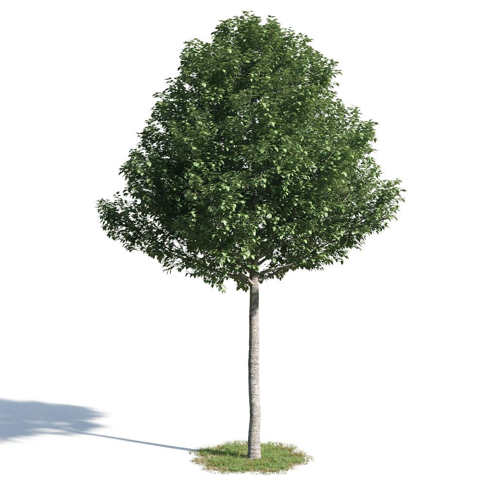 Populus alba pyramidalis 50 AM154 Archmodels