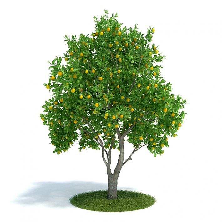 Citrus sinensis Plant 61 AM61 Archmodels