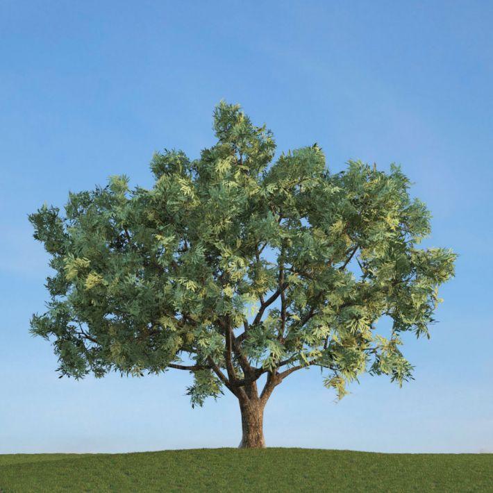 Salix fragilis 51 AM113 Archmodels