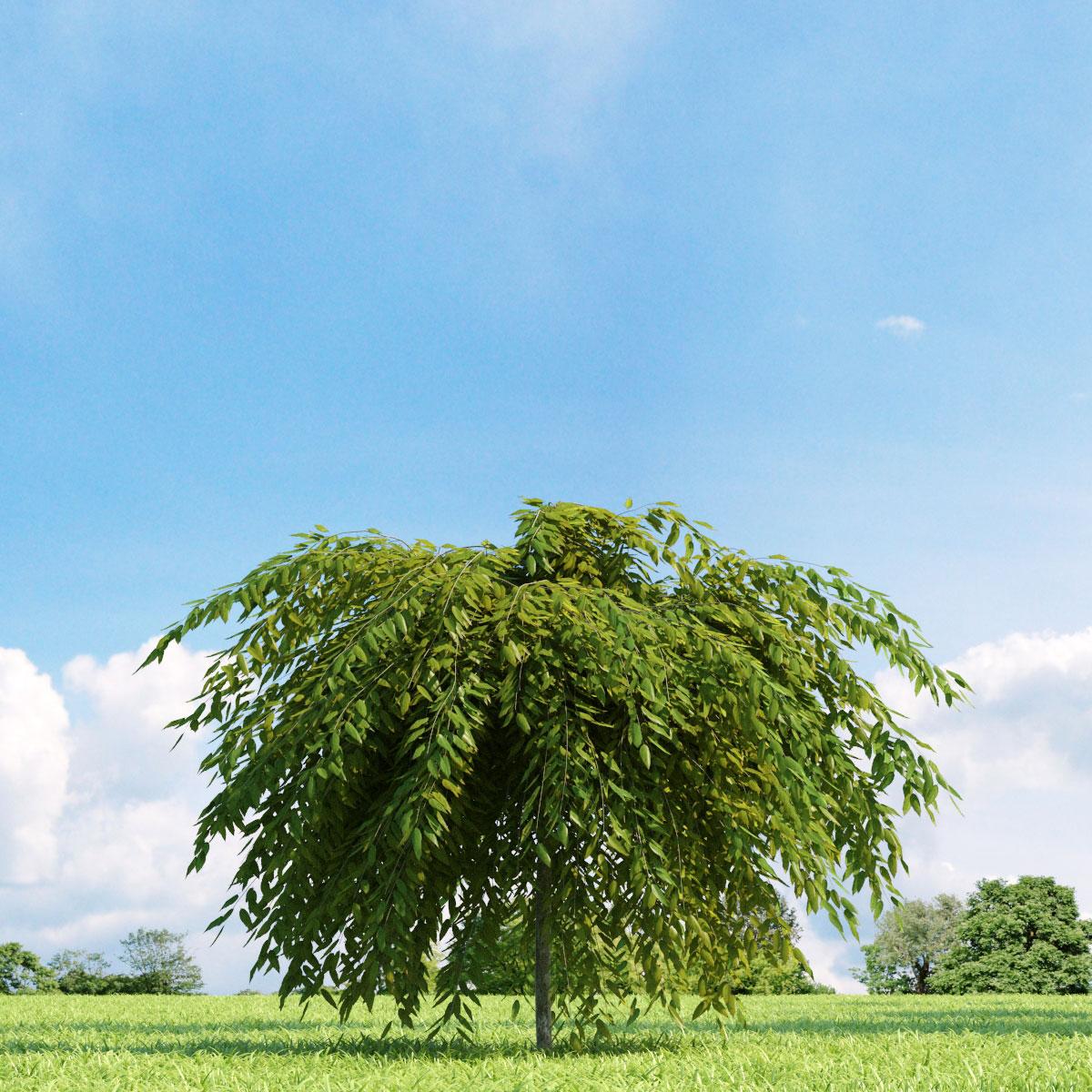 Salix repens var. nitida 22 v3 AM136 Archmodels