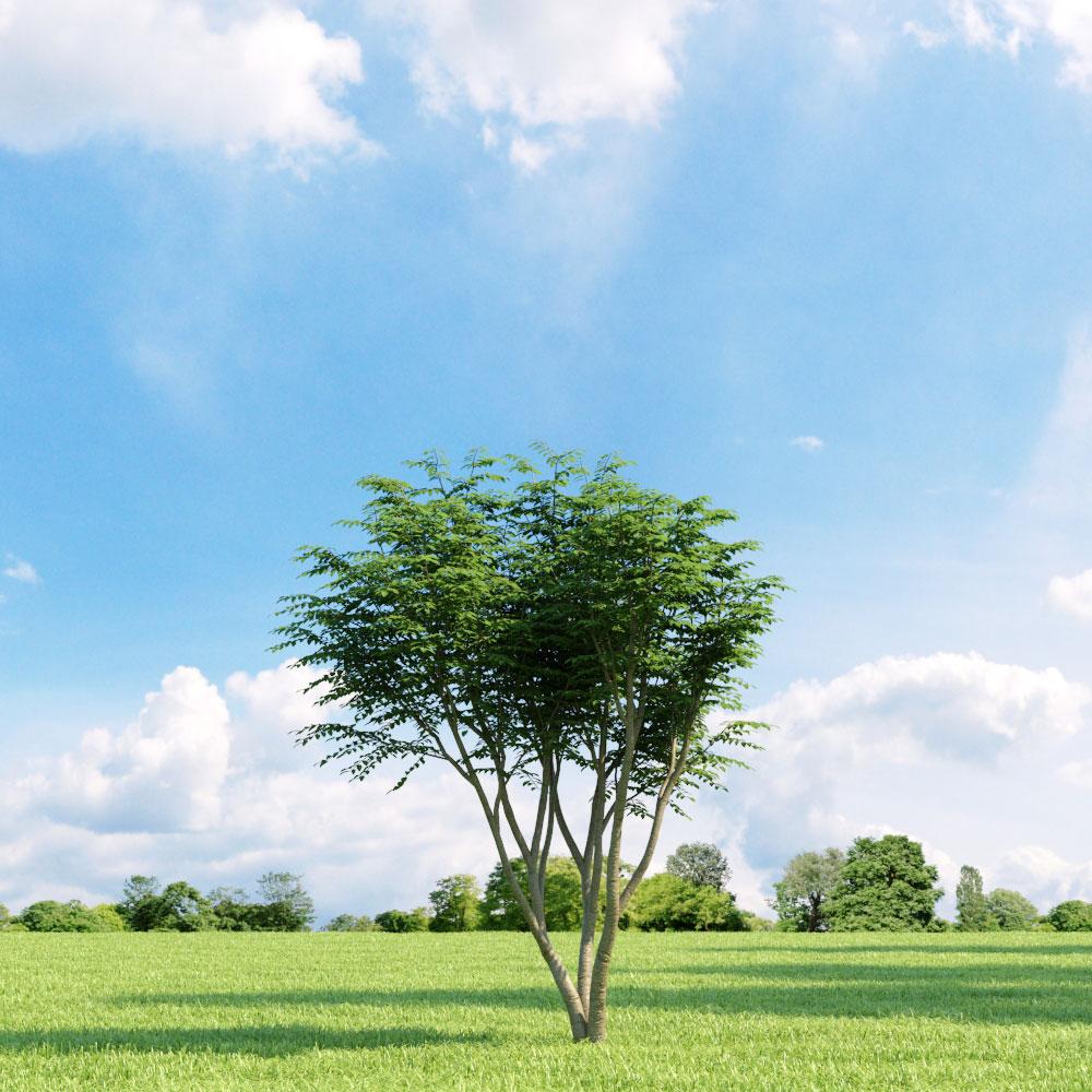 Caragana arborescens 9 v3 AM136 Archmodels