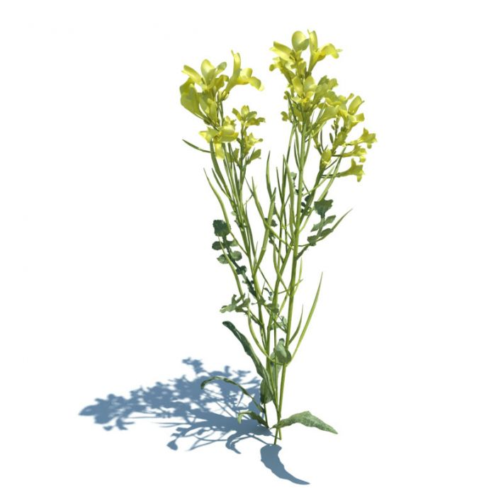 Brassica napus 128 AM124 Archmodels