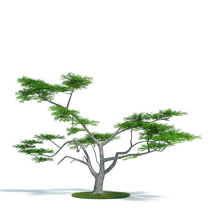Acacia constricta Plant 41 AM61 Archmodels