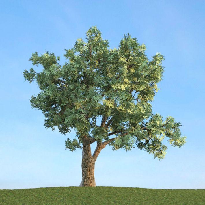 Salix fragilis 52 AM113 Archmodels