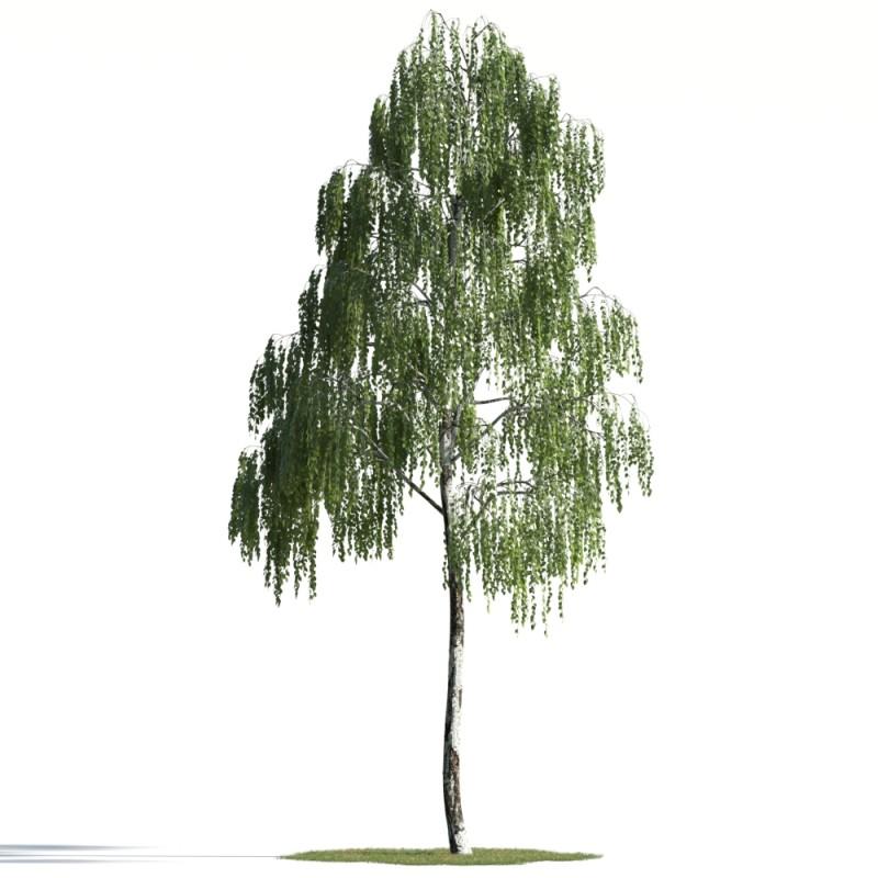 tree 36 AMC01