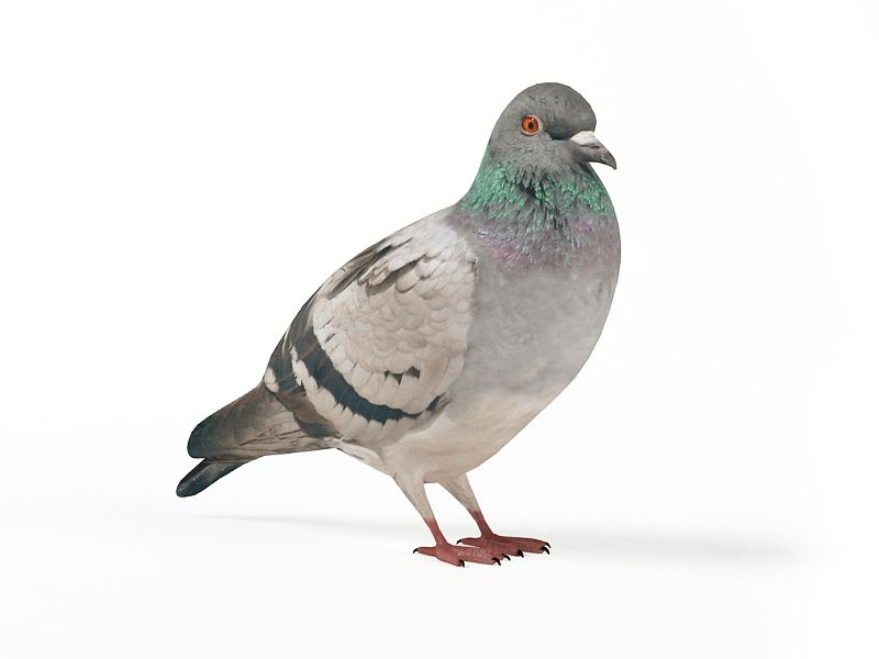 pigeon 8 AM83 Archmodels
