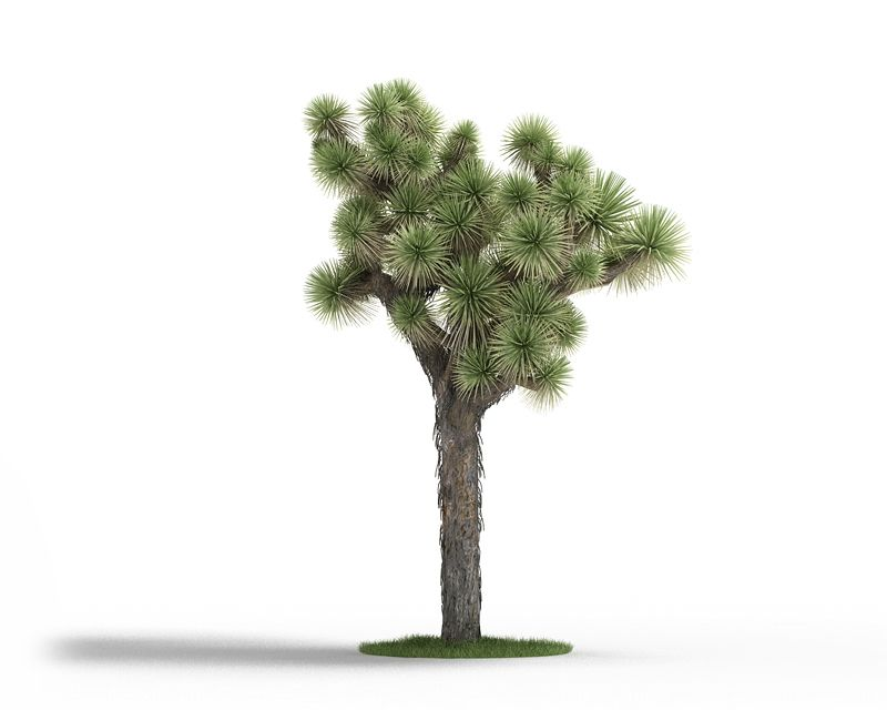 Yucca brevifolia 53 AM3 for Cinema4D Archmodels