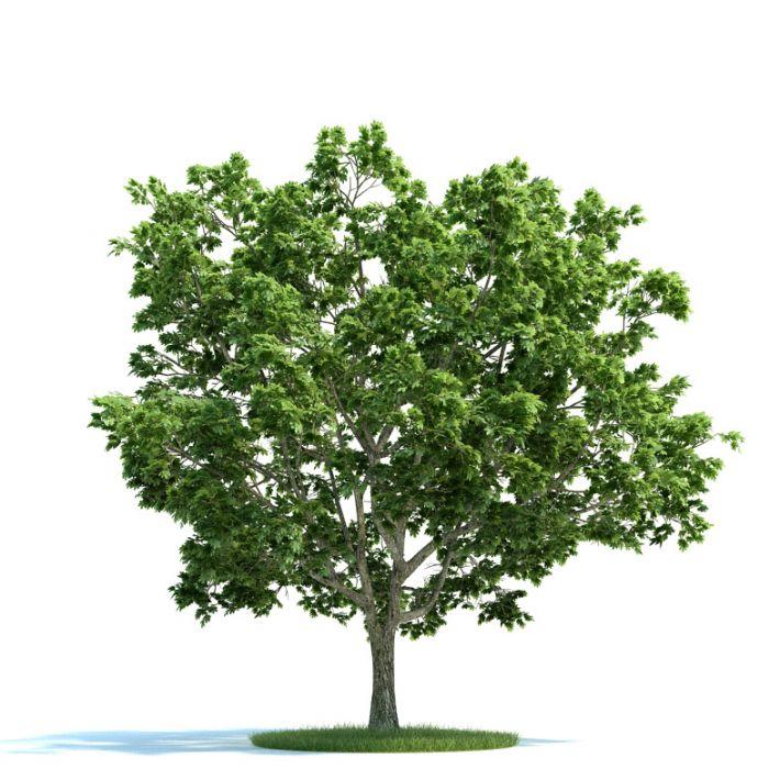 Acer platanoides Plant 35 AM58 Archmodels