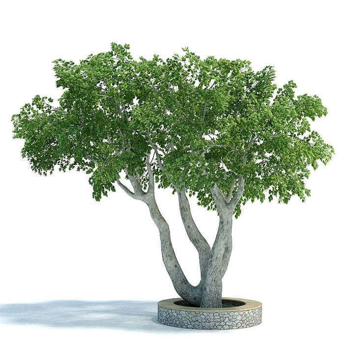 Ficus benjamina Plant 11 AM61 Archmodels