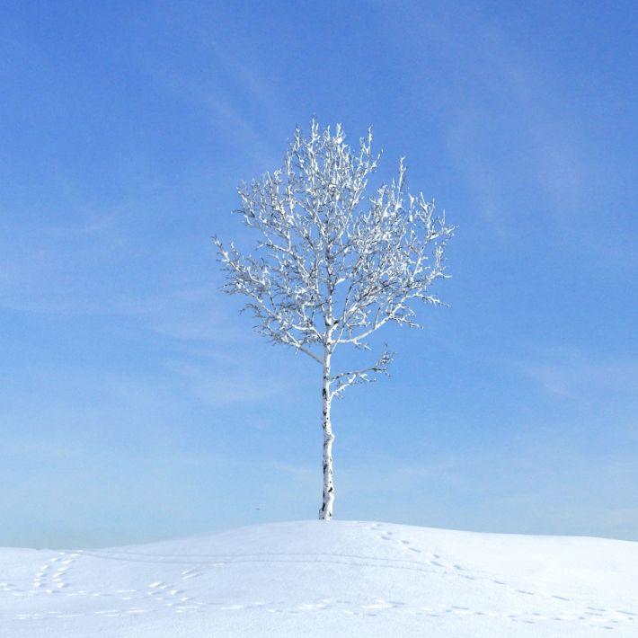 aspen tree 016 am100