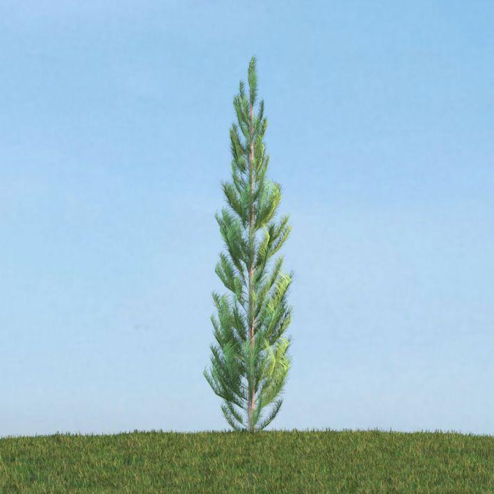 Pinus 39 am113